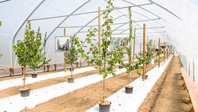 Beschwerde von Pro Natura erfolgreich: Aargauer Aprikosen-Projekt gescheitert – Folientunnel müssen weg