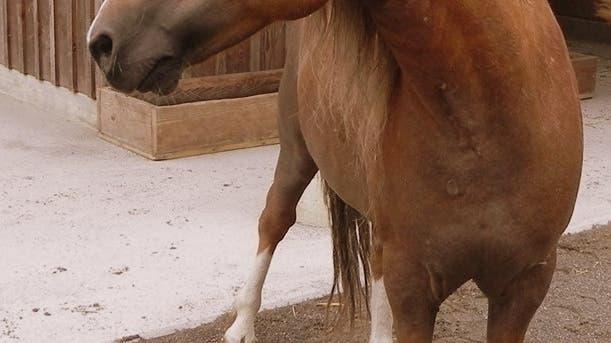 Das beliebte «Roggi»-Pony Marengo ist tot