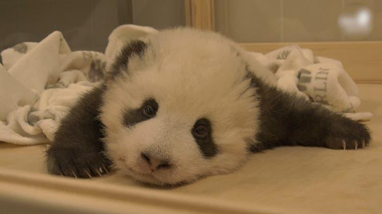 """""""Hicks"""" - Schluckauf hindert Panda-Baby am Einschlafen"""