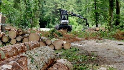 Spätfolge des Hitzesommers – Borkenkäfer befällt geschwächte Bäume
