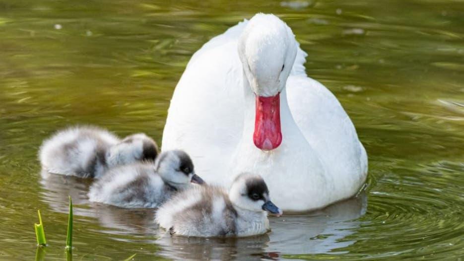 Die frischgebackenen Eltern kümmern sich liebevoll um ihren Nachwuchs.