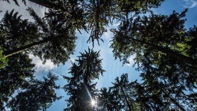 Der Klimawandel könnte zu mehr Trockenheit und damit zu Schäden in den Ausserrhoder Wäldern führen. (Bild: Michel Canonica)