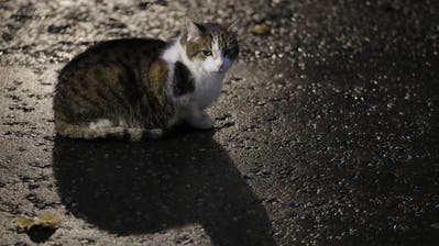 Larry the cat, Britain's Chief Mouser to the Cabinet Office sits in Downing Street ahead of a Cabinet meeting in London, Tuesday, Oct. 20, 2020. (AP Photo/Kirsty Wigglesworth) (Bild: Kirsty Wigglesworth / AP)