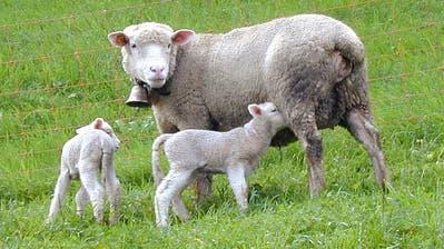 Gerissene oder verletzte Nutztiere wie Schafe sollen in Obwalden den Haltern zum Marktpreis entschädigt werden. (Archivbild: Nid-/Obwaldner Zeitung)