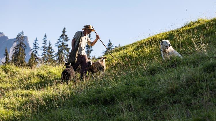 Im Safiental: Kunst als wilde Schafsjagd