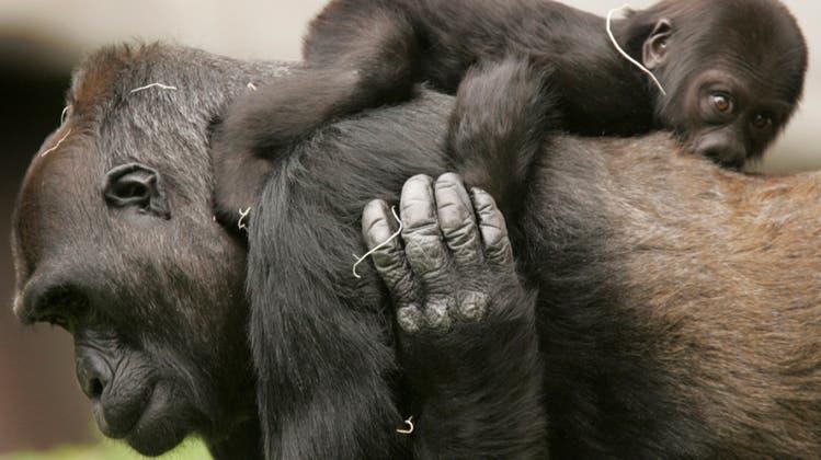 Bundesgericht entscheidet: Kantonale Volksinitiative «Grundrechte für Primaten» ist zulässig