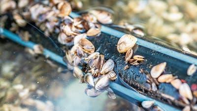 Eine Motion fordert Schutzmassnahmen, um die Invasion der Quagga-Muscheln in Luzerner Seen zu verhindern