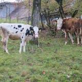 Kuhglockengebimmel ärgert Anwohner – Petition gegen Lärm eingereicht