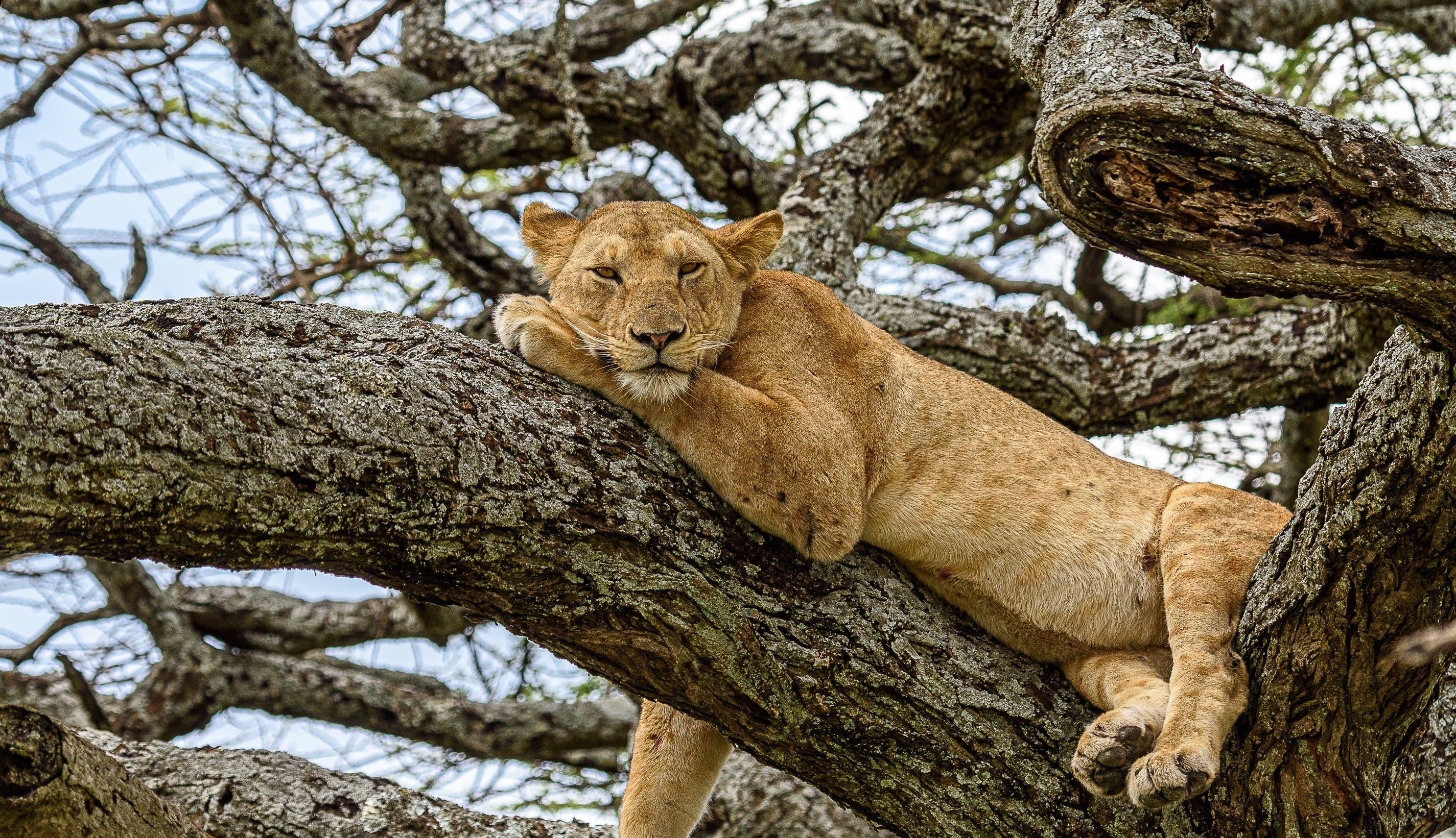 Eine Löwin bei der Mittagspause in der Serengeti-Savanne (Kenia).