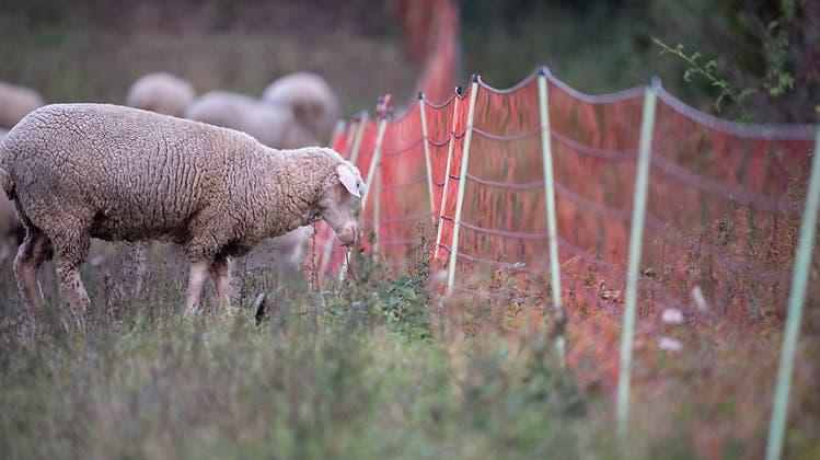Fünf Schafe auf der Weide gerissen – unklar ob von Wolf oder Hund