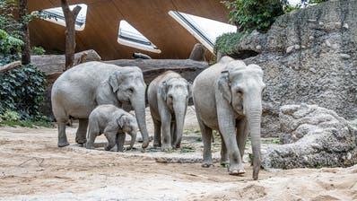 Die Elefanten wollten helfen, dennoch starb im Zoo Zürich im August ein Kalb. Der kleine Umeshim Symbolbild kam bereits im Februar zur Welt. (Albert Schmidmeister/Zoo Zürich)