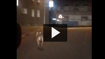 Ein Wolf in Wolfhalden? (Bild: PD)