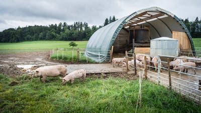 Aus für die Freilandschweinehaltung in Kalchrain, weil die Rundzelte nicht ins Landschaftsbild passen. (Bild: Andrea Stalder, 13. Juni 2018)