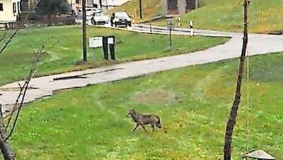 Dieser Wolf wurde am Freitag in Wolfhalden fotografiert. (Leserbild)