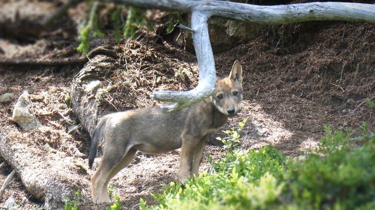 Ein Jungwolf des Staigas-Rudel. Das Foto stammt aus dem vergangenen Sommer. (HO/Kanton Graubünden)