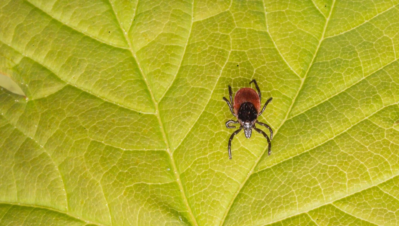 Zecken haben dieses Jahr so viele Menschen wie noch nie mit dem FSME-Virus angesteckt. (Keystone)