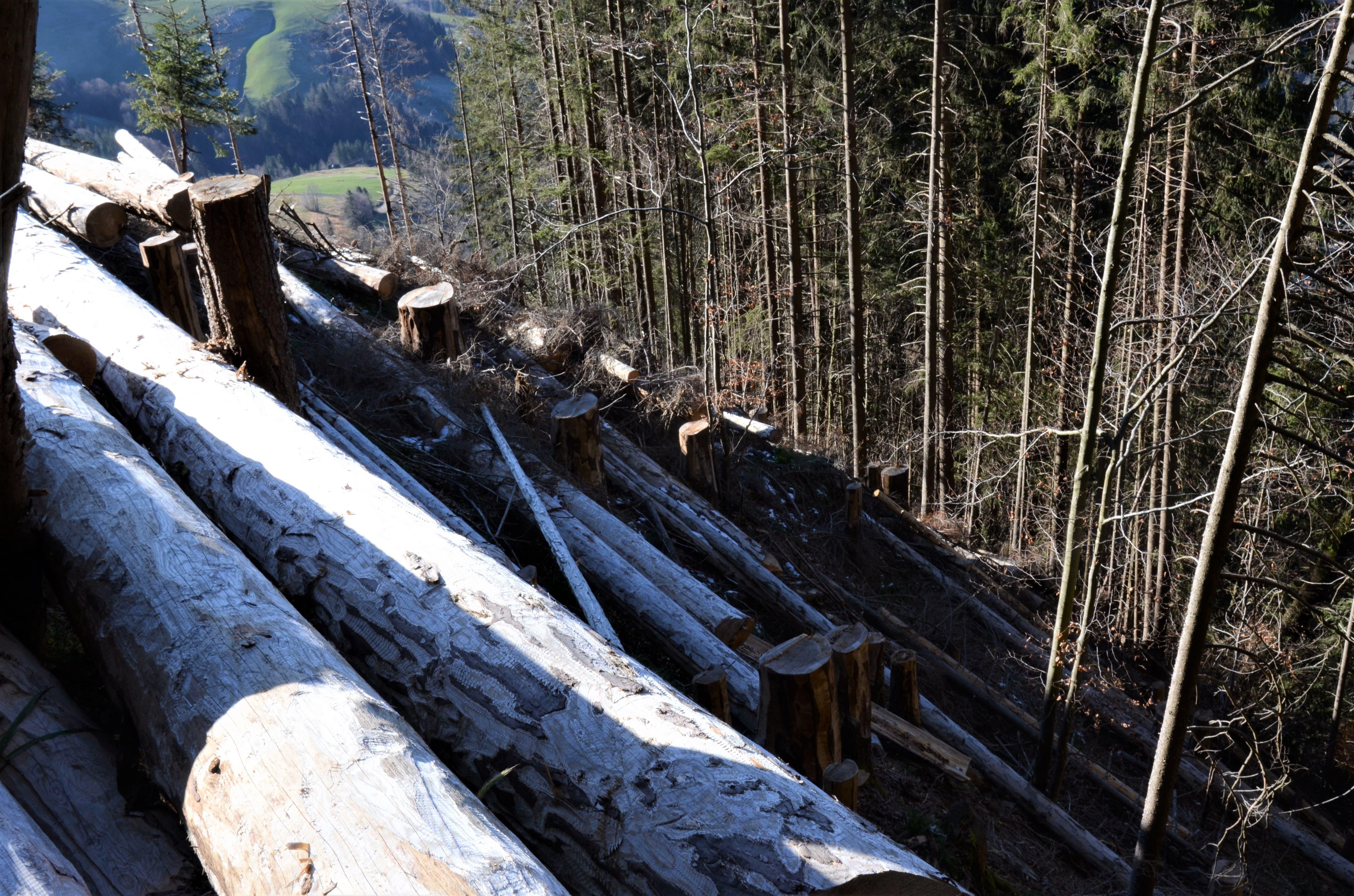 Auch im Wald oberhalb von Schüpfheim liegen hunderte gefällte Stämme am Boden.