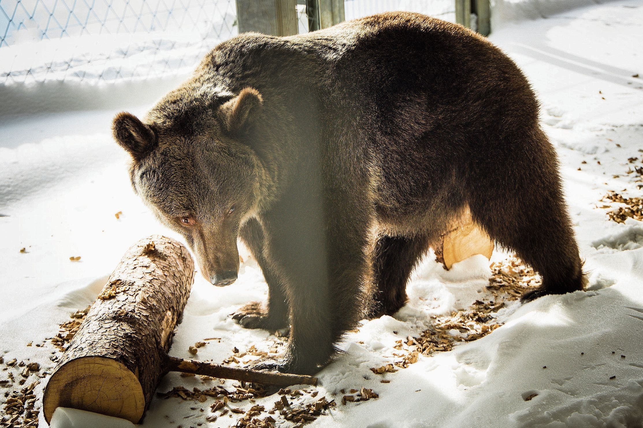 Im verschneiten Bärenland in Arosa hat Jambolina vorerst ein Gehege für sich alleine, da sie nicht an andere Bären gewöhnt ist.