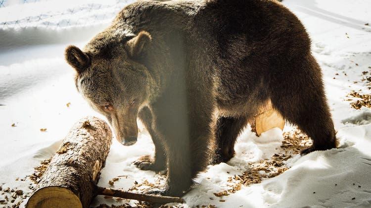 Im verschneiten Bärenland in Arosa hat Jambolina vorerst ein Gehege für sich alleine, da sie nicht an andere Bären gewöhnt ist. (Bild: Stefan Bohrer (Arosa, 11. Dezember 2020))