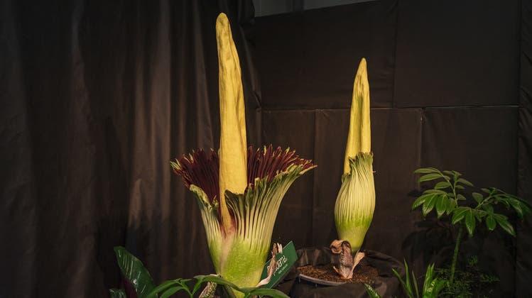 Grösste Blume der Welt blüht – und stinkt