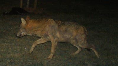 Mond inklusive: Auf dem Hof in Zuckenriet lief der Wolf in eine Fotofalle. (PD)