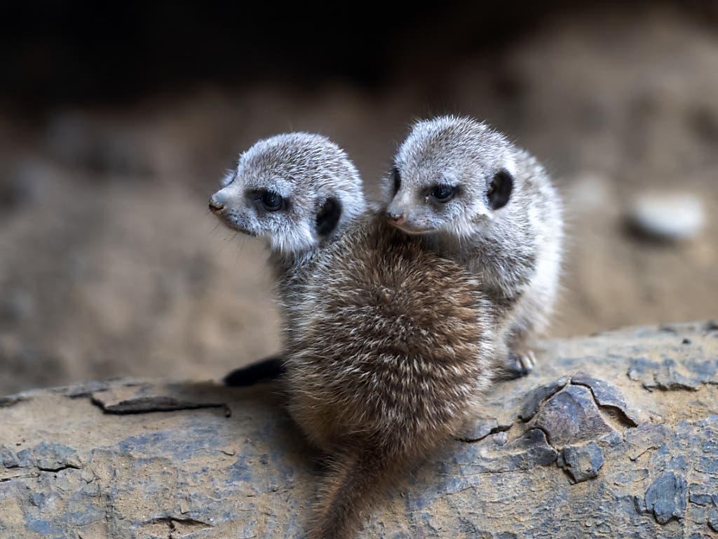 Zwei junge Erdmännchen lernen im Zoo in Basel den Ernst und Spass des Lebens kennen.