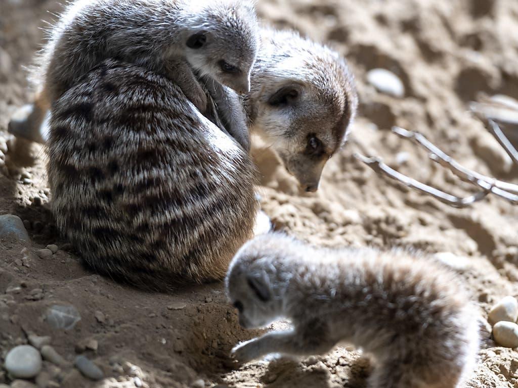 Die jungen Erdmännchen im Zoo Basel können sich in der sozialen Gruppe auf Lehrer verlassen, die ihnen alles beibringen, was sie zum Leben benötigen.