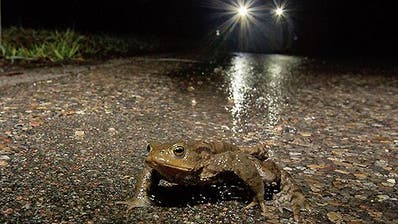 Strassen auf dem Weg zum Laichplatz werden für Kröten und andere Amphibien jeden Frühling zur tödlichen Gefahr. (Pro Natura/HO)