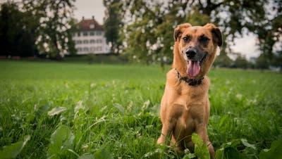 Auf dieser Wiese im Tribschenquartier soll die Hundefreilaufzone entstehen. Im Hintergrund ist das Richard-Wagner-Museum zu sehen. (Bild: Boris Bürgisser (Luzern,7. September 2018))