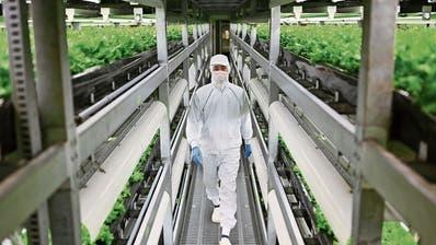 Ein Mitarbeiter kontrolliert Salat in einer Vertical Farm in der japanischen Stadt Kyoto. (Bild: Charly Triballeau/AFP)