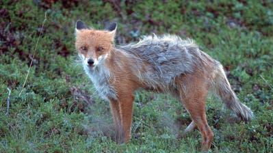 Hunde an die Leine! Im Appenzeller Mittelland grassiert die Fuchsräude