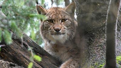 LuchsinDesari ist die neuste Bewohnerin im Tierpark Goldau. (Bild: PD)