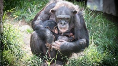Die Affen sind weiterhin da, die Besucher fehlen jedoch: Der Walter-Zoo muss schliessen. (Bild: Ralph Ribi)