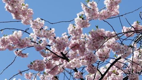 Kirschbäume sind besonders anfällig auf Frost. (Symbolbild) (Keystone)