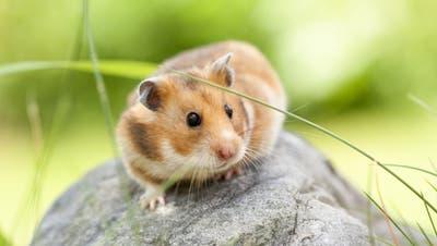 So ein herziger Hamster aber auch. ((Bild. Fotalia))