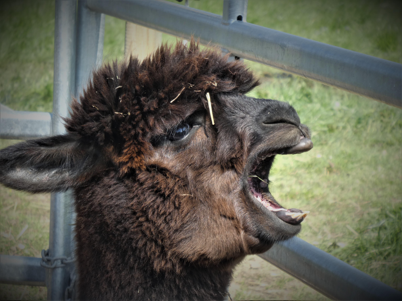 Auch Alpakas müssen ab und zu mal gähnen.