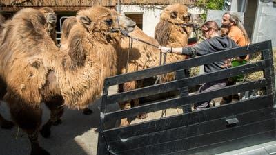 Karin Stiffler und Ullrich Rungebeim Versuch, die Kamele zum Einsteigen in denTiertransporter zu bewegen. (Bild: Reto Martin)