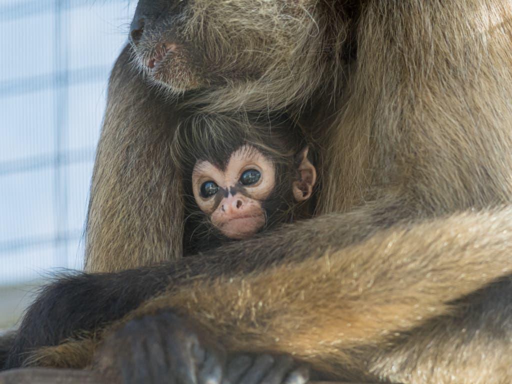 Noch ist das Geschlecht der beiden neuen Klammeraffen im Zoo Basel unklar.