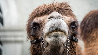 Ein Kamel aus Olmerswilwartet auf seinen Einsatz an der Kamelkarawane, die den Frauenfelder Weihnachtsmarkt eröffnet. ((Bild: Andrea Stalder, 20.12.2019))