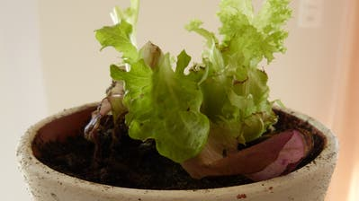 Salate eignen sich fürs Regrowingbesonders gut. (Bild: Silvia Schaub)