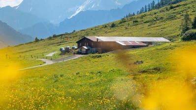 Das Unkraut Hahnenfuss auf der Alp Hinterfeld ist der Alpgenossenschaft ein Dorn im Auge. Im Rahmen eines Projekts untersucht nun eine Agrarbiologin das Gebiet. (Bild: Yannick Andrea)