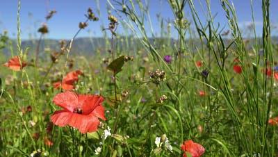 Blumenwiesen fördern die Artenvielfalt. (Bild: Robert Grogg ()