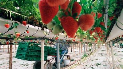 Die Schweizer Erdbeeren werden dieses Jahr vielerorts von Bekannten aus dem Umfeld der Produzenten gepflückt. (Symbolbild) (Keystone)