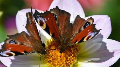 Doppelt so viele Insekten auf Bio-Flächen als auf konventionellen