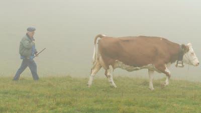 Nach der Sömmerung von Schweizer Vieh in Vorarlberg gilt zur Bekämpfung der Tuberkulose nach der Heimkehr weiterhin eine amtstierärztliche Überwachung und eineVerbringungssperre. (Bild: Urs Lindt)
