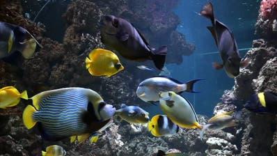 In der Mitte mit Streifen: Das Imperator-Kaiserfisch-Weibchen, oben hinter ihr schwimmt ihre Nummer zwei. (Torben Weber, Zoo Basel)