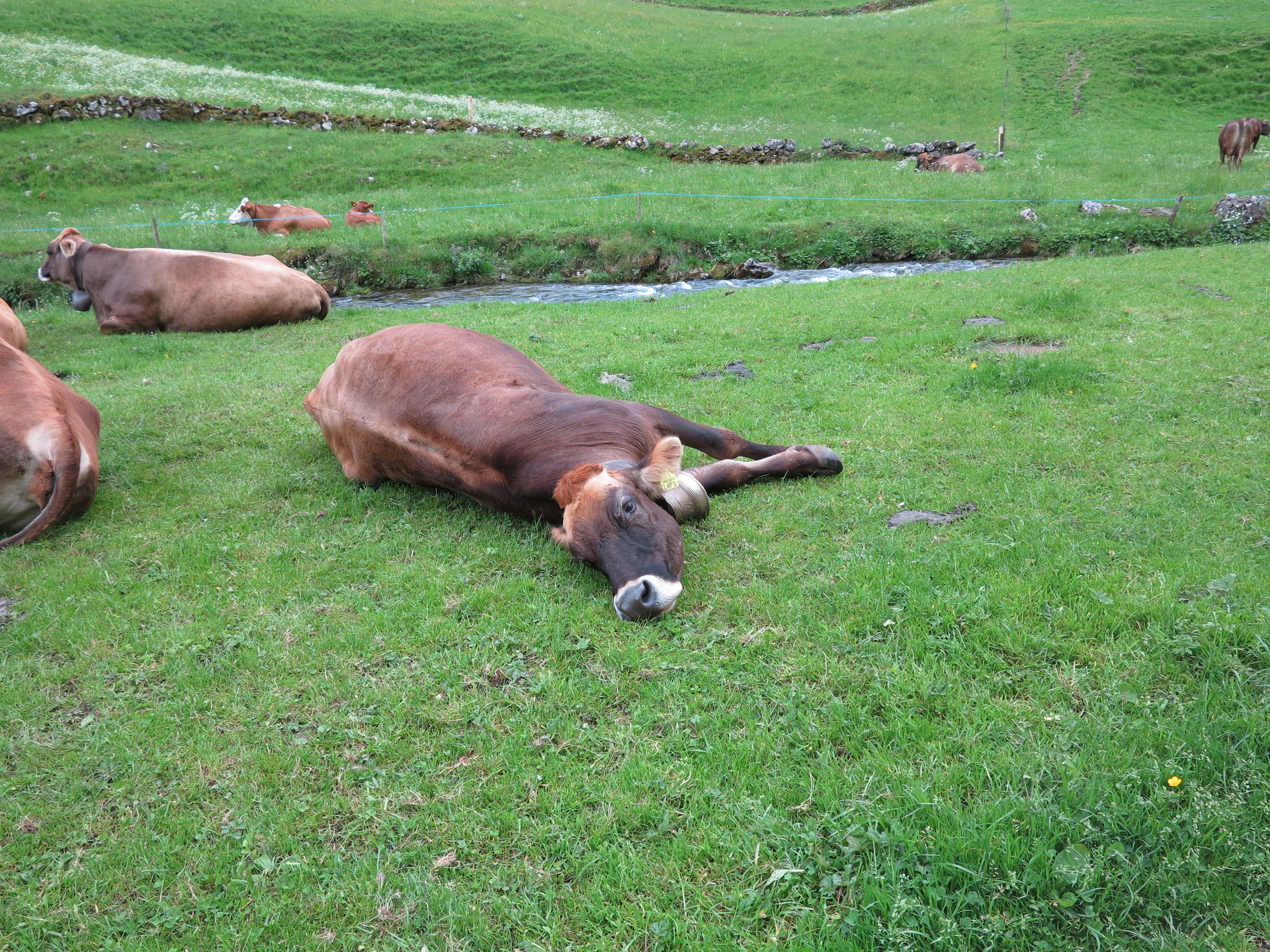 Die Kühe sind entspannt.
