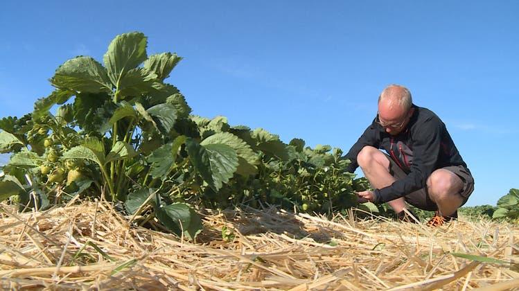 Erdbeeren blieben vom Frost verschont – Ernte dürfte reich ausfallen