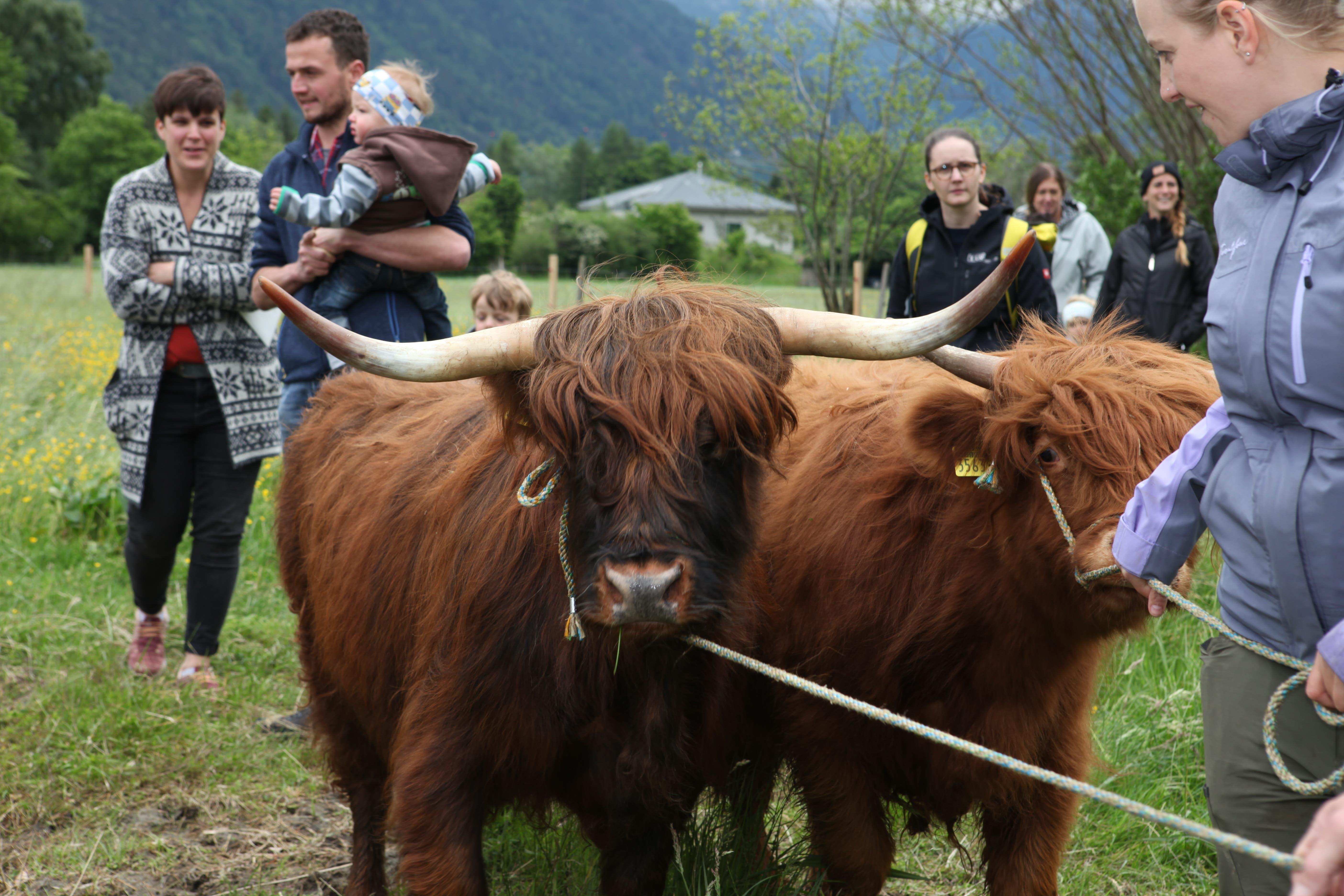 Im Reussdelta werden schottische Hochlandrinder angesiedelt. Eines davon gehört Skilegende Bernhard Russi.