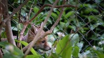 Ein junger Fuchs versteckt sich im Unterholz. (Bild: Jan Steiner/PD)